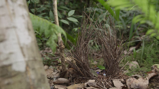 bower of male flame bowerbird - bird's nest stock videos & royalty-free footage