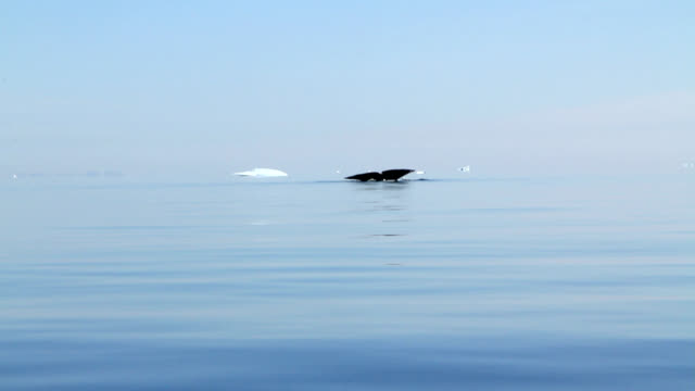 """bowhead whales, greenland"" - cetacea stock videos & royalty-free footage"