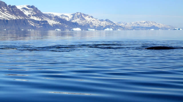 """""""bowhead whales, greenland"""" - surfacing stock videos & royalty-free footage"""
