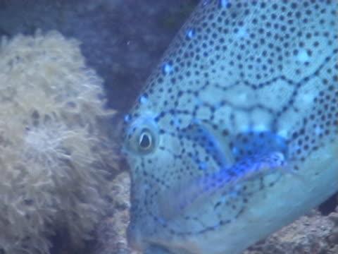 box fish  bcu of feeding - 少於10秒 個影片檔及 b 捲影像
