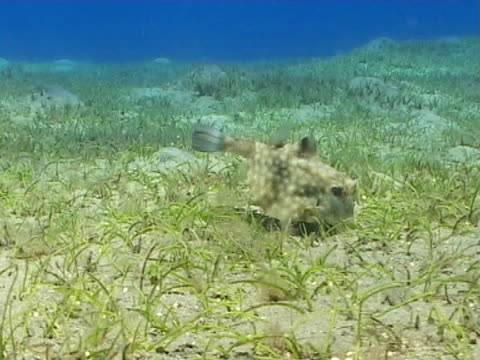 vídeos y material grabado en eventos de stock de box fish ws feeding in sea grass bed - menos de diez segundos