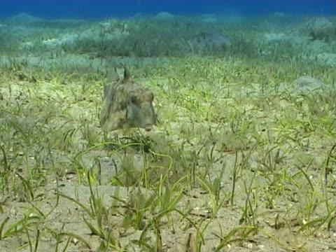 box fish  ms, sea grass bed - 少於10秒 個影片檔及 b 捲影像