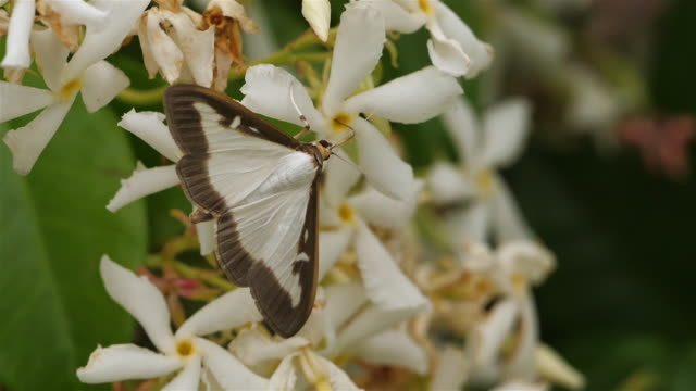 vidéos et rushes de box tree moth or cydalima perspectalis, occitanie, france - jasmin