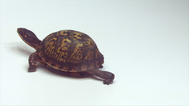box turtle walking on a white surface