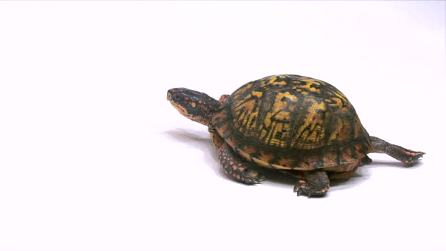 stockvideo's en b-roll-footage met box turtle walking on a white surface - schildpad