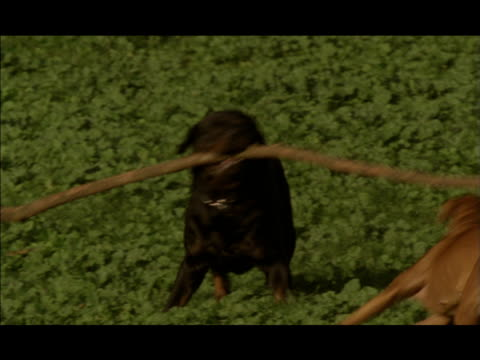 a boxer and a rottweiler play with a long branch. - boxer dog stock videos & royalty-free footage