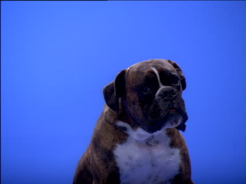 boxer dog chewing and observing surroundings - boxer dog stock videos and b-roll footage