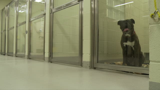 boxer dog in cage waiting for surgery - boxer dog stock videos and b-roll footage