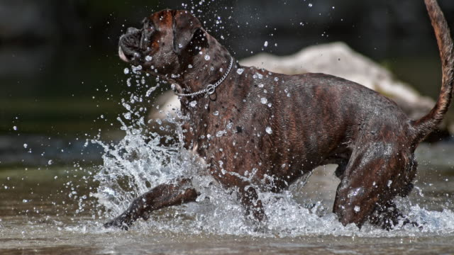 slo mo boxer dog jumping and running in creek - boxer dog stock videos and b-roll footage