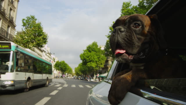 CU Boxer dog leans out of window of car driving in streets of Paris