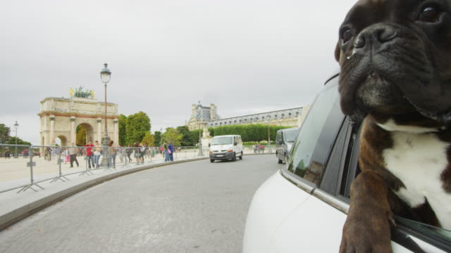 cu boxer dog leans out of window of car driving in streets of paris - boxer dog stock videos and b-roll footage