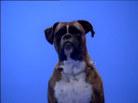 boxer dog opens and closes mouth and turns head - boxer dog stock videos and b-roll footage