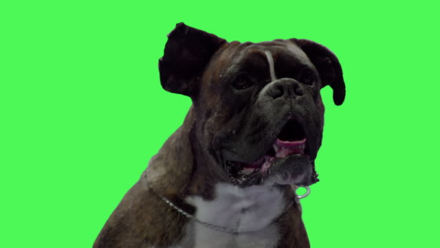 boxer dog pet on green screen - boxer dog stock videos and b-roll footage
