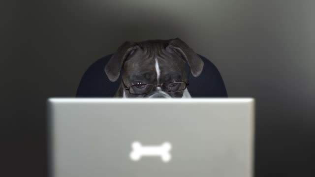 boxer dog reading on a laptop computer - boxer dog stock videos and b-roll footage