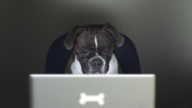 Boxer dog reads on a computer laptop