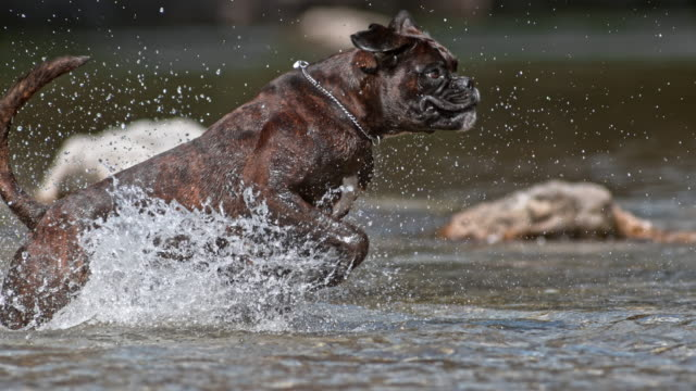 slo mo ts boxer dog running in the river - boxer dog stock videos and b-roll footage