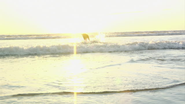 ms, ws, pan, boxer dog running into ocean at sunset, nosara, guanacaste, costa rica - boxer dog stock videos and b-roll footage