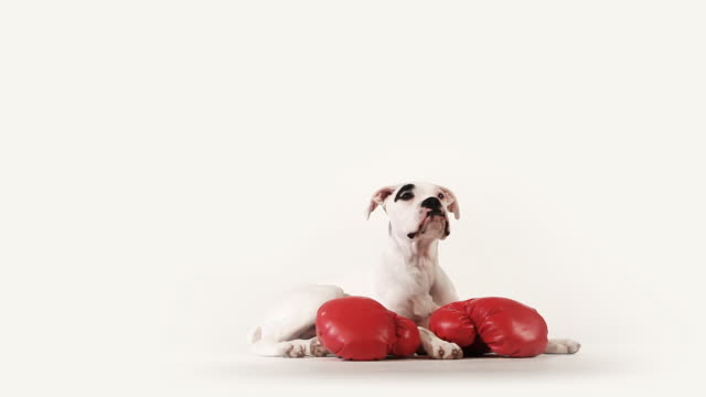 stockvideo's en b-roll-footage met boxer dog - bokshandschoen
