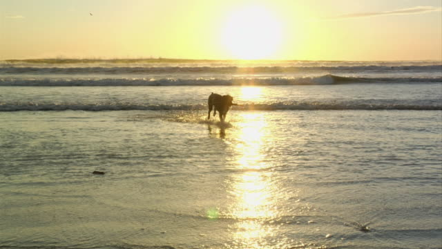 ws, ms, boxer dog with sick in mouth running in waves at sunset, nosara, guanacaste, costa rica - boxer dog stock videos and b-roll footage