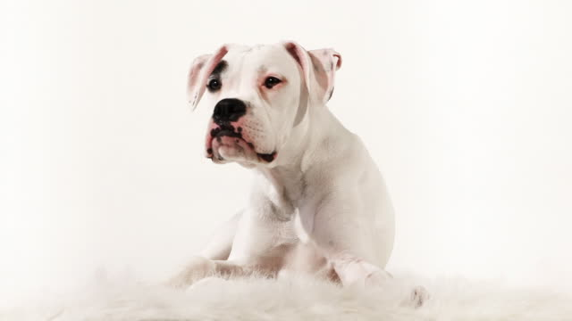 boxer looking - boxer dog stock videos and b-roll footage