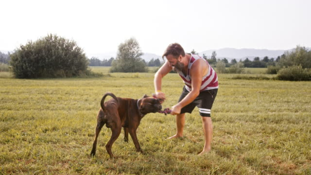 slo mo boxer playing with it's male owner in the meadow - boxer dog stock videos and b-roll footage
