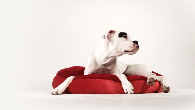 boxer relax - boxer dog stock videos and b-roll footage