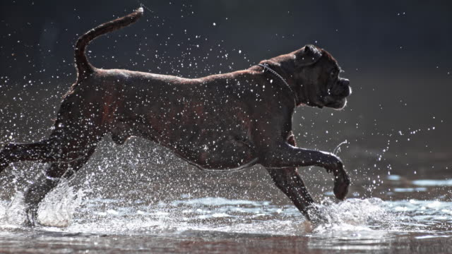 slo mo ts boxer running across water - boxer dog stock videos and b-roll footage