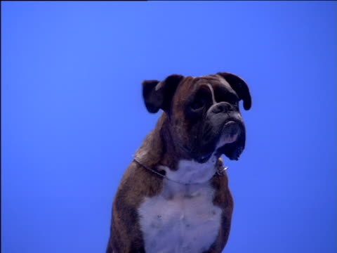 boxer sits with ears flapping - boxer dog stock videos & royalty-free footage