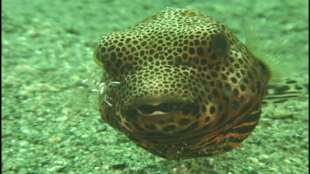Boxfish/puffer (unknown species) with cleaner shrimp.  Reef. Papua New Guinea