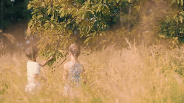 ms boy and girl picking cherries off tree in sunny idyllic rural meadow - sorella video stock e b–roll