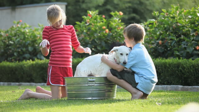 ms pan boy (8-9) and girl (10-11) washing white shepherd puppy in washtub on lawn, puppy running away from tub / richmond, virginia, usa - washtub stock videos and b-roll footage