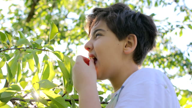 boy eats cherries at sunset - orchard stock videos & royalty-free footage