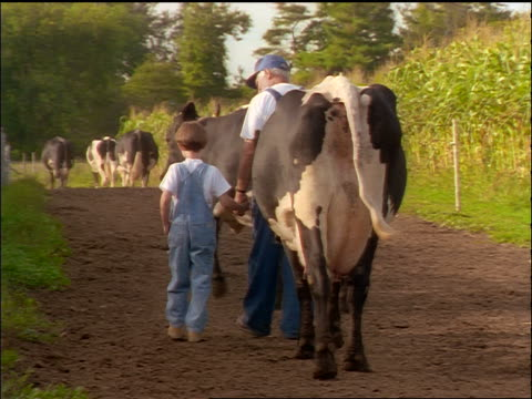 REAR VIEW boy + grandfather in overalls holding hands + walking on dirt road with Holstein cows