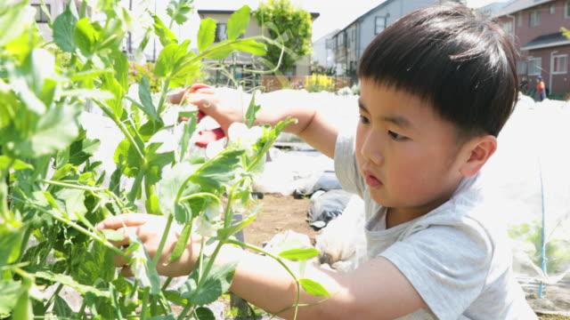 vídeos y material grabado en eventos de stock de niño cosechando verduras en el campo - actividad de agricultura