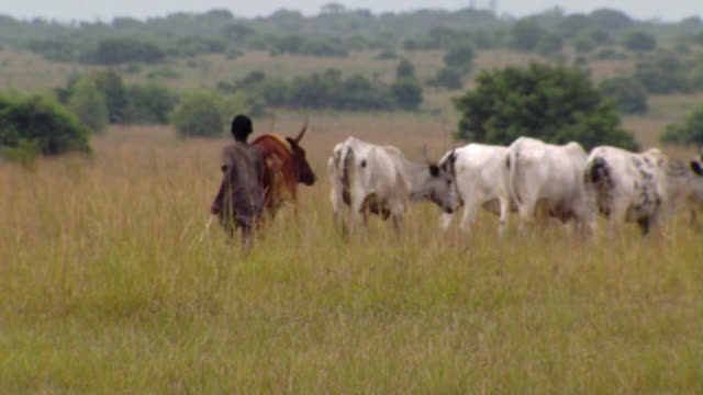 ms pan boy herding cattle in long grass, tamale, ghana - ghana stock videos & royalty-free footage