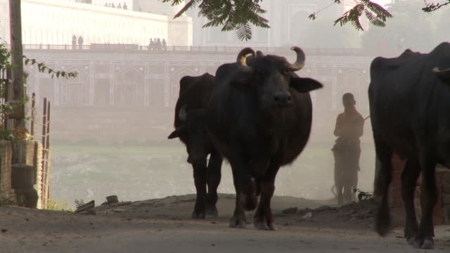Boy herds water buffalo up hill and past camera