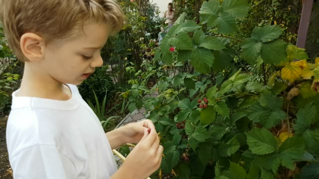 boy picking and eating berries in garden - brambleberry stock videos & royalty-free footage