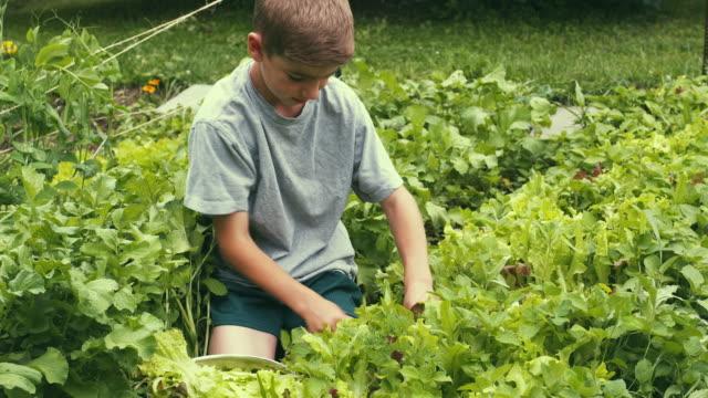 vidéos et rushes de ms ha boy picking lettuce from vegetable garden, sunderland, vermont, usa - jardin potager