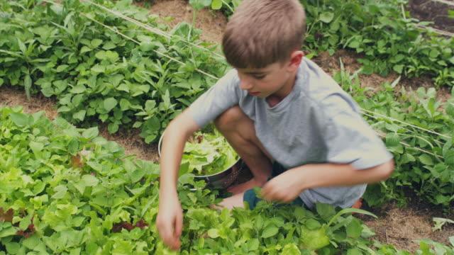 MS HA Boy picking lettuce from vegetable garden, Sunderland, Vermont, USA