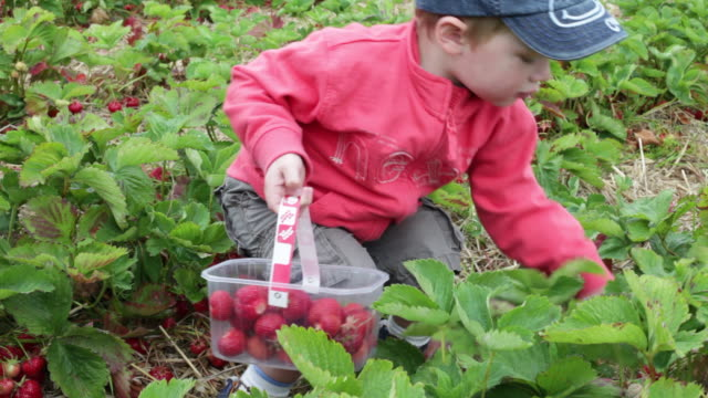 boy (1-2 years) picking strawberries, uk - 12 23 mesi video stock e b–roll