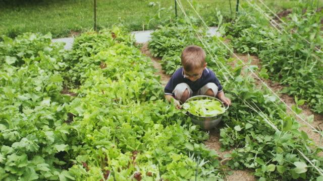 MS HA Boy picking up colander with lettuce from vegetable garden, Sunderland, Vermont, USA