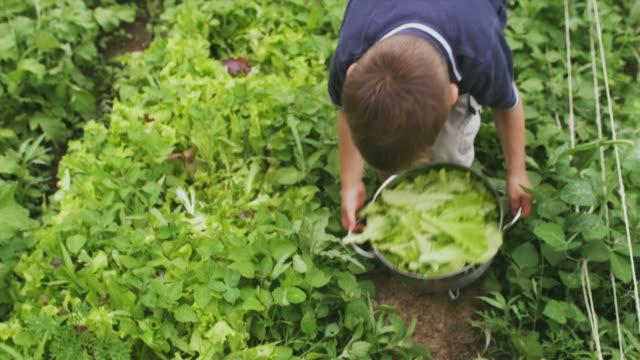 CU TU Boy picking up colander with lettuce from vegetable garden, Sunderland, Vermont, USA