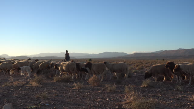 Boy shepherds flock of sheep