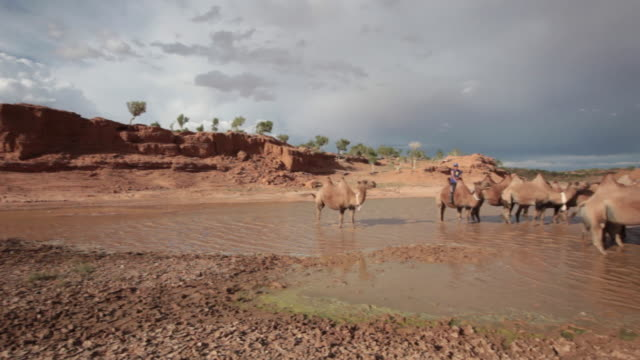 boy taking a camel herd to water at a freshwater lake near the flaming cliff (bayanzag) in gobi desert, mongolia - bestiame video stock e b–roll