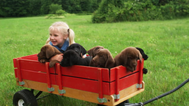 ms pan boy trying to pull girl and labrador puppies sitting in toy wagon through lawn, sunderland, vermont, usa - piccolo gruppo di animali video stock e b–roll