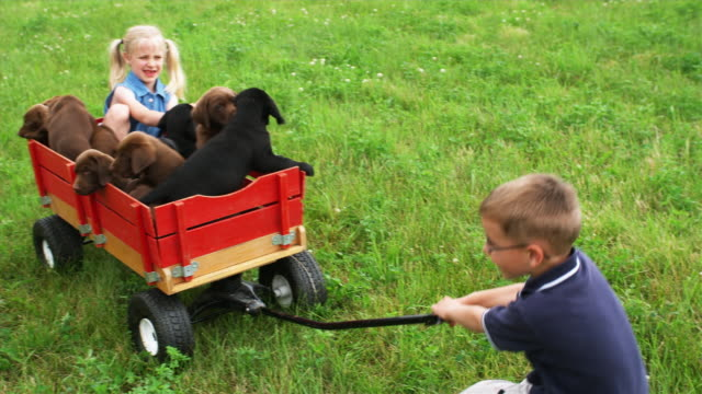 vidéos et rushes de ms ha boy trying to pull girl and labrador puppies sitting in toy wagon through lawn, sunderland, vermont, usa - trébucher