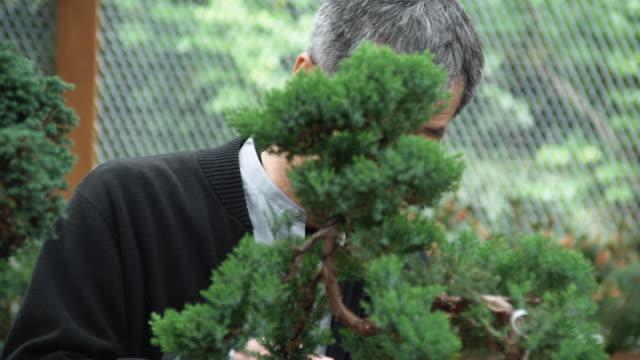 cu pan tu boy watching as grandfather prunes bonsai tree / seattle, washington, usa - beskära bildbanksvideor och videomaterial från bakom kulisserna
