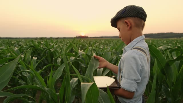 boy with digital tablet in idyllic,rural corn field at sunset,real time - curiosity stock videos & royalty-free footage