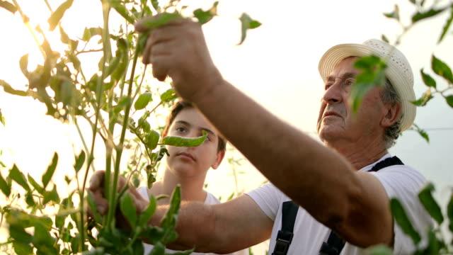 junge mit großvater gartenarbeit. lernen die kunst der anbau von gemüse - gewächshäuser stock-videos und b-roll-filmmaterial