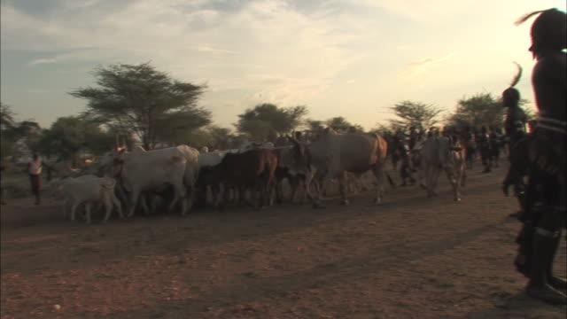 boys herd bulls in ethiopia. - bull animal stock videos & royalty-free footage